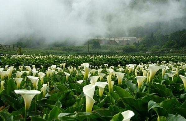 陽明山の竹子湖海芋(カラー)祭は台湾で有名な花祭りの一つ、3月~5月にかけて満開となり、毎年多くの観光客を引き付けています、足元に咲き乱れる白いカラーはとてもロマンチック、疲れた心身体を癒すには最高です~ぜひカラー祭に来てくださいな