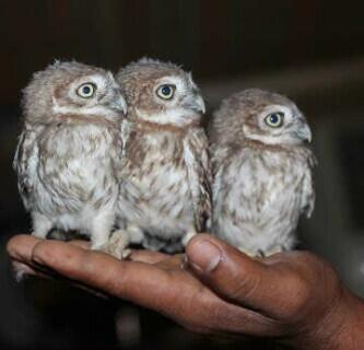 pets for sale in uae on twitter mini owls for sale 2800. Black Bedroom Furniture Sets. Home Design Ideas