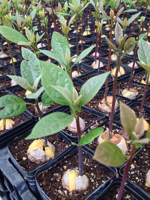 Avocado Tree Seedlings At A