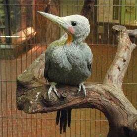 「上野動物園的☆GWな動物シリーズ!」 つづいて、たった1種でGWな動物!ボウシゲラ(Great Slaty Woodpecker)!!!! GWはボウシゲラ見きゃ始まらないってこと!バードハウスへGO!GW!