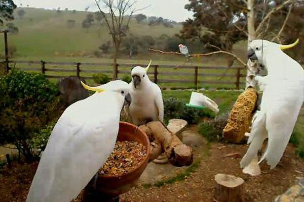 "Backyard Galah Cam cockatoo sanctuary & rescue on twitter: ""betty's backyard galah cam"