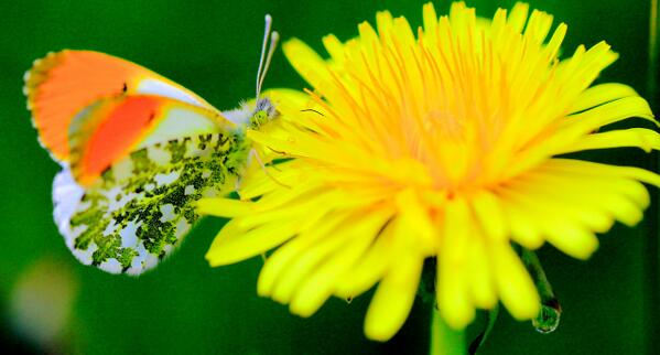 Male orange tip butterfly on a dandelion http://t.co/nNeyefPOAG