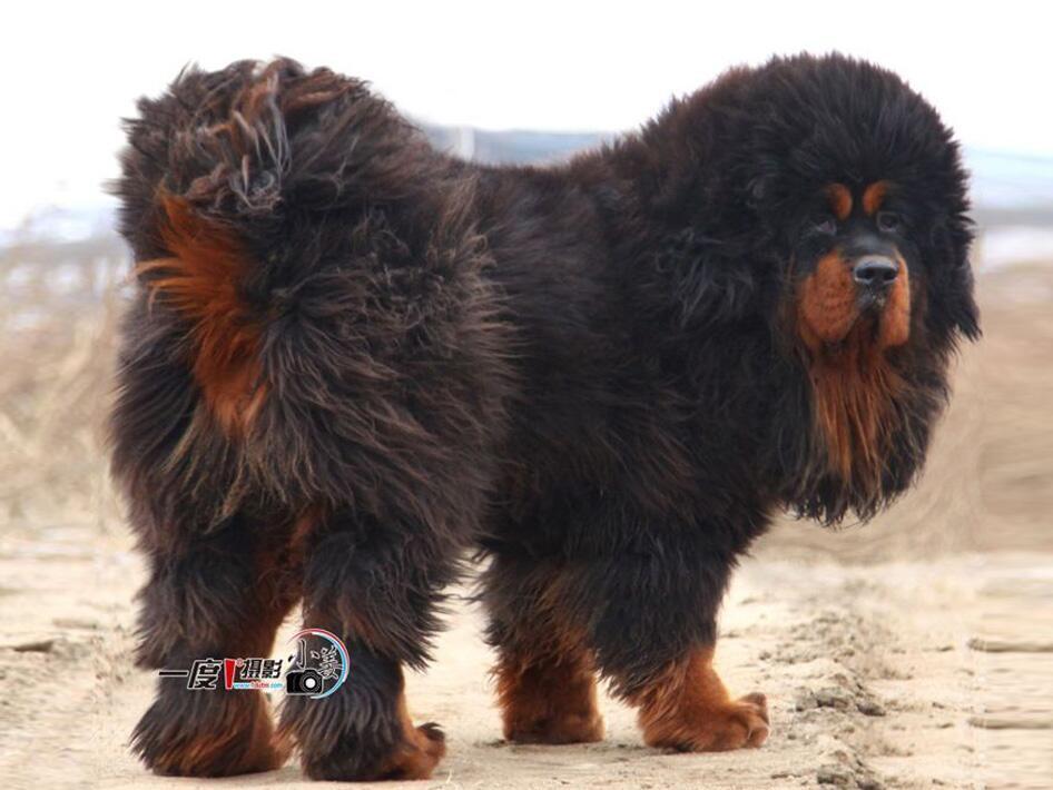 معلومات لا تهمك On Twitter Quot هذا هو الكلب الروسي القوقازي