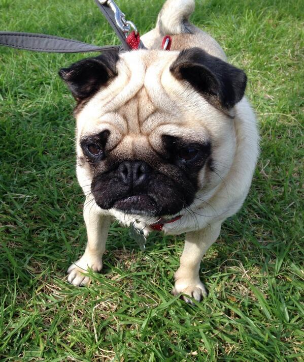 I've changed my mind... Too many cute pooches out there at Albert Park. #millionpawswalk http://t.co/QRIgjQ4cM7
