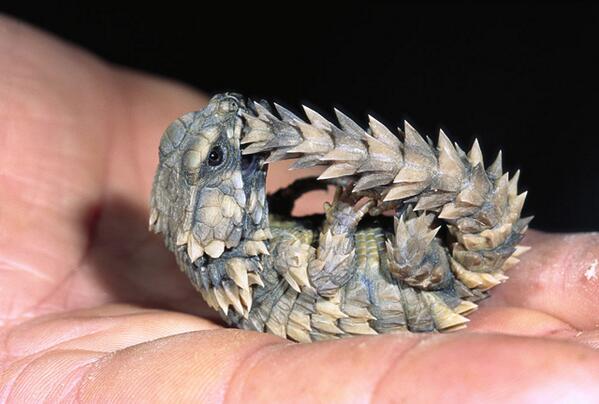 アルマジロトカゲがかっこ可愛くてすげえ欲しいんだけど、尻尾咥えて丸くなるの可愛い pic.twitter.com/u0jeibh0MF