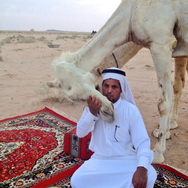 Saudis Kiss Their Camels In Defiance Of MERS Warning