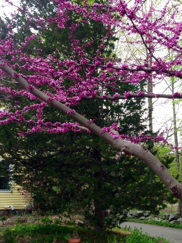 Twitter / srdill: Gorgeous redbud tree. ...