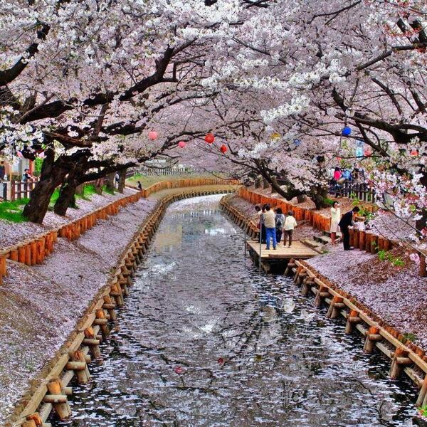"Pretty  Via ""@dudu_amorim: Splendid! Japanese Cherry Blossoms on the both side of Canal Kyoto, Japan http://t.co/NRupiPAkyX"""