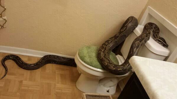 College Station woman surprised to find python in bathroom. http://t.co/J79kHyaZeZ http://t.co/pcuRgr7wlU