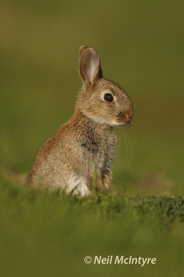 A very underrated photo subject I think the humble Rabbit , this wee fellow sitting up alert outside its burrow.