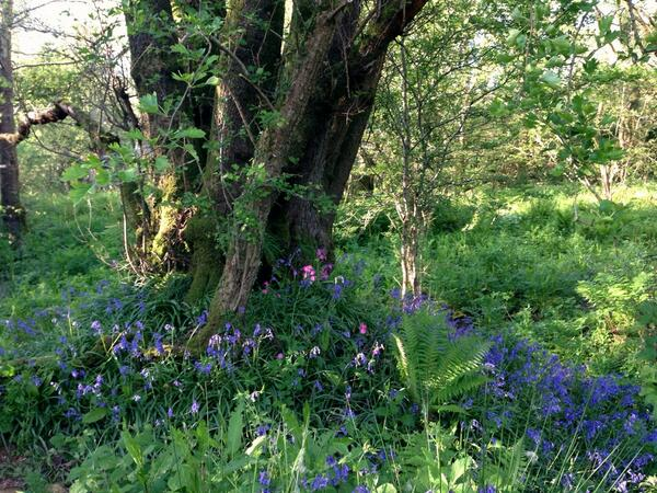 Sat by this perfect Ash coppice stool today, surrounded by ferns, bluebells, campion, damselflies, butterflies.. http://t.co/LPA6YZcoxs