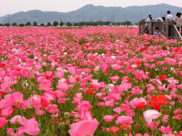 一面に広がる1000万本のポピー!!5/18(日)道の駅笠岡ベイファームで「ポピーフェスティバル」が開催されます。ポピー畑の中に作られた小道を歩いたり、写真を撮ったり、HAPPYな気分になれますよ~(*^o^*) http://t.co/wrgaAD1RC2