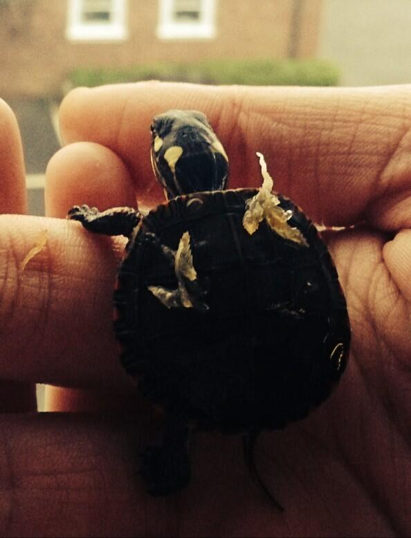 Bonded with a painted turtle hatchling before this morning's @wherewelive :) #turtletalk http://t.co/my7GRv0O90