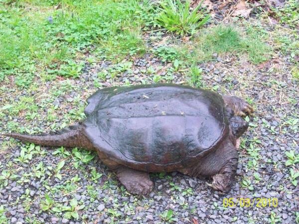 Turtle photo from listener Russell! http://t.co/8cdTJTPsJU