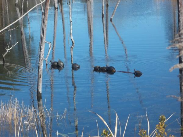 Some Florida turtles from another turtally awesome listener. Thanks Bob! #turtletalk http://t.co/dpWrCutIk4