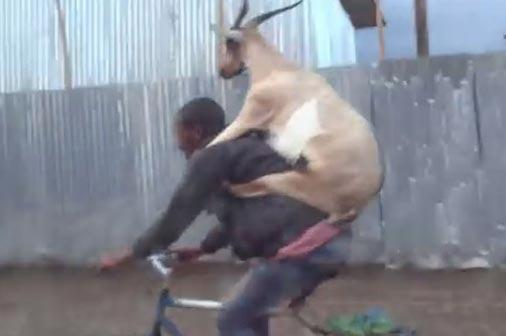 Cabra pega 'carona' nas costas do dono ao andar de bicicleta na Etiópia http://t.co/RQHwXil558