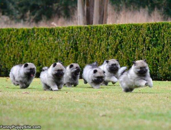 Keeshond Dogs For Sale Australia