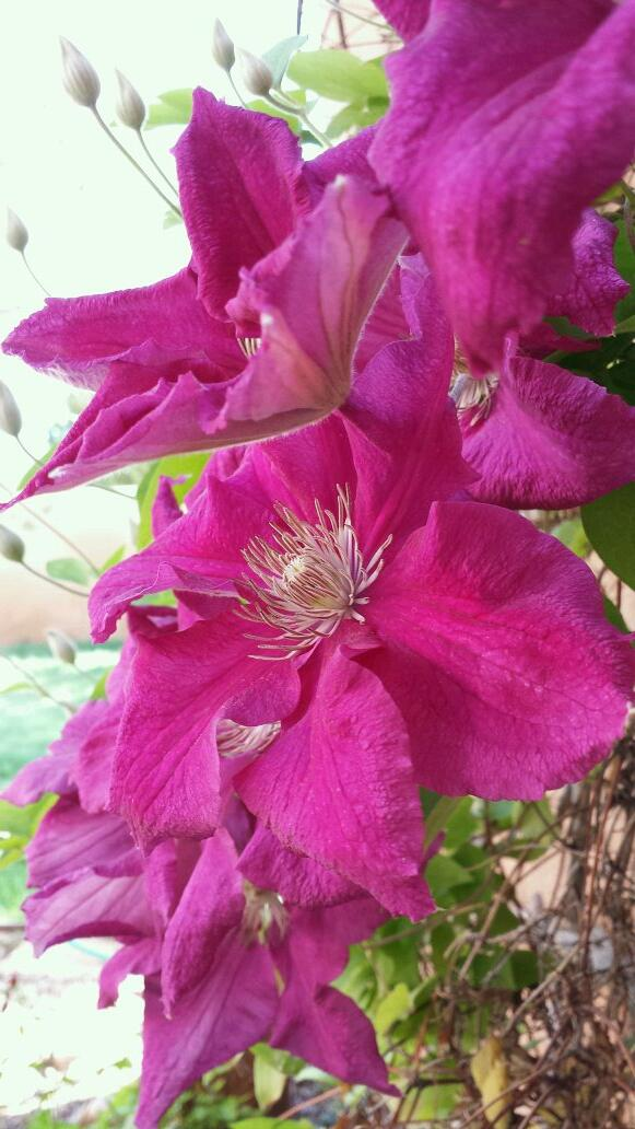 #retweet if you love Clematis flowers. http://t.co/TMEkk2mcvD
