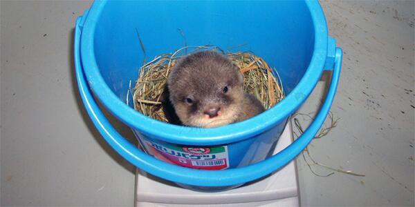 #世界計量記念日  コツメカワウソ500g前後。生後38日目。多摩動物公園で以前生まれた個体です。 pic.twitter.com/Qm46mb9cDI