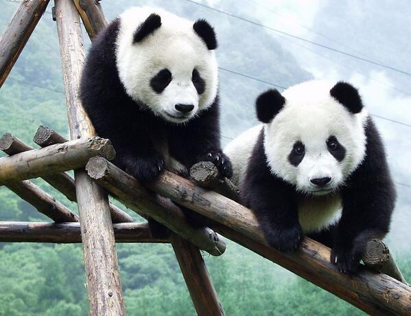Welcome to Malaysia Feng Yi and Fu Wa! What should we name their baby? Give us your best Malaysian panda names! http://t.co/MrjfwOlhKi