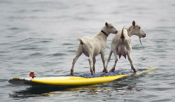 Surfing Goats Of Pismo Beach Could Be Evicted Unless City Changes Laws