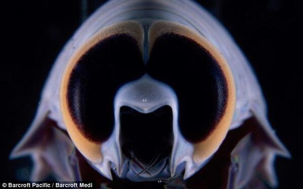 Looking amphipod of
