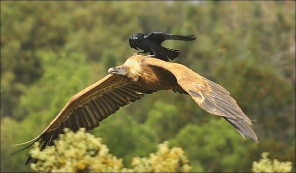 """@ANIMALPlCTURES: A crow hitching a ride on the back of a vulture. http://t.co/ljRGPJDvTY"" cc @roykerrmusic @crablin"