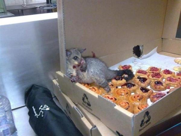 A possum broke into an Australian bakery and ate so many pastries it couldn't move. http://t.co/YJKyfl9N0m http://t.co/Je22wtodyE