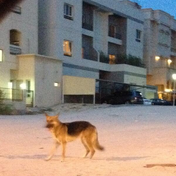 Found a German Shepherd in Yarmouk. Can you RT maybe we can find its owner? http://t.co/fJrketIzL4