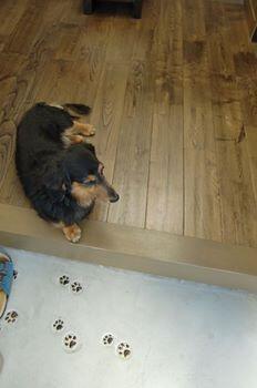 【至急!!】 お友達からの至急の依頼です!愛知県江南市で個人でダックスフントを保護してる人が家族が犬アレルギーで、限界らしく、預かりさんか、飼ってくれる人が見つからないと保健所行きになってしまう、とSOSを送ってきました。 http://t.co/MCqcn0KyY5