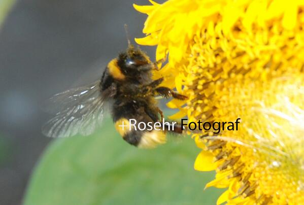 Feature Story THE CASE OF  VANISHING BEES Pesticides & The Perfect Crime #Foto #Eutin #Rosehr http://t.co/80eGuwgL8h http://t.co/EnXzfI7eWq