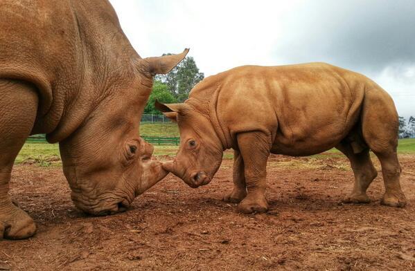 Cabárceno y el rinoceronte mas joven de Europa / @pcabarceno #monnuagetrip #cantabria http://t.co/4SItjzVtSq
