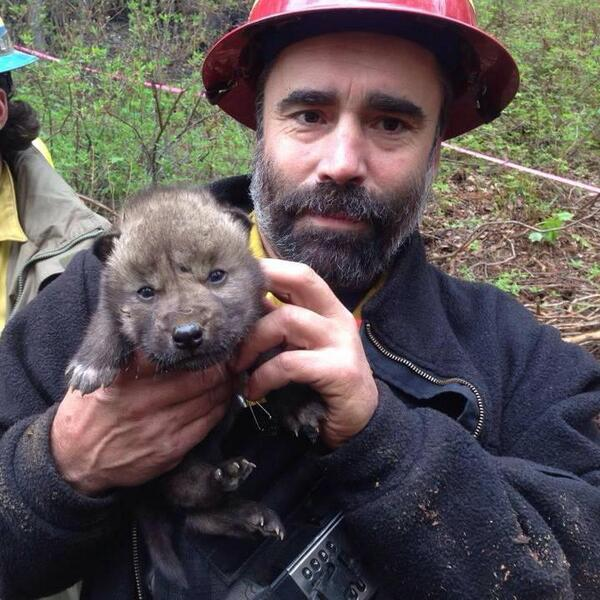 Working w/ firefighters, 2 Kenai #Refuge, AK staffers save wolf pups during Funny River Fire: http://t.co/zDoe1Y0rXp http://t.co/XynZSFeS9s