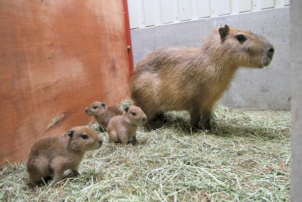 ニュースっす!5/28に富士サファリパークで3頭のカピバラが誕生したとのこと。公開時期はまだ未定とのことですが、飼育員さん撮影の写真をいただきましたので、ここに貼りまーす。 pic.twitter.com/Cg8z4PkOUm