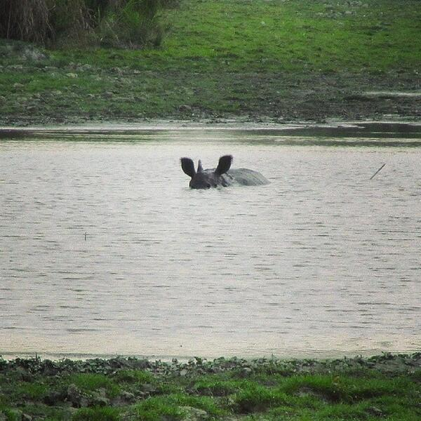 #Peekaboo #Rhino #OneHornedRhinoceros #EndangeredSpecies #Assam #Kaziranga #NationalParks #Nature #natgeotravelpi... http://t.co/RYMV6hPmbi
