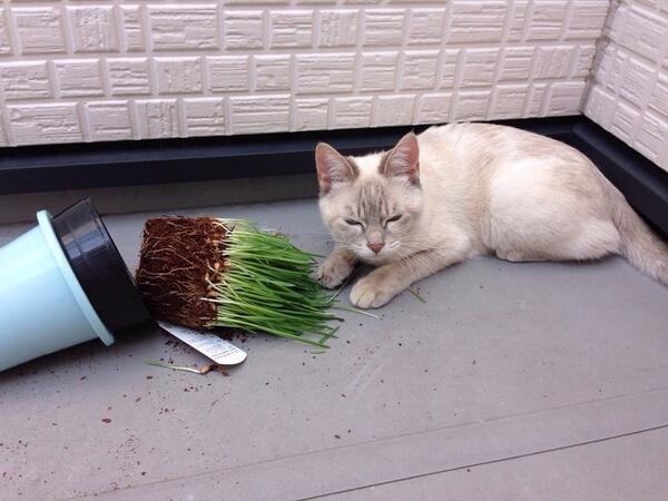 名古屋マツバラ警察署は、3日未明、器物損壊の疑いで容疑者のJ(1歳)を現行犯逮捕。名古屋市内の民家ベランダに押し入り、猫草を齧ろうとしたところ、鉢ごと倒し逃走を図ったもの。取り調べに対し「全部出てくるとは思わなかった」と容疑を否認。 pic.twitter.com/LbVxeD7FoP