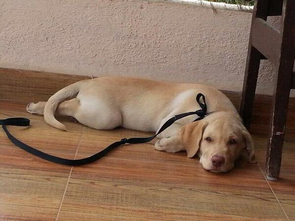 #URGENT Pune Adoption: 3 m old lab, F. She will  come with a spay contract. To adopt please only whatsapp 9820952339 http://t.co/5FmtjDcsjK