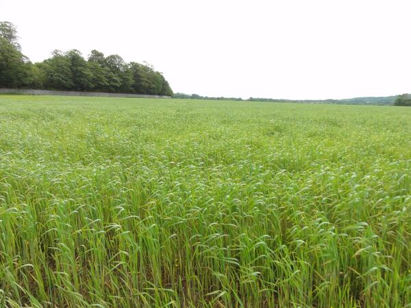 Acres of Spelt growing at St Fagans, this will be the thatch for our Iron Age Farm #BrynEryr #MakingHistory http://t.co/2iczsSJMlg