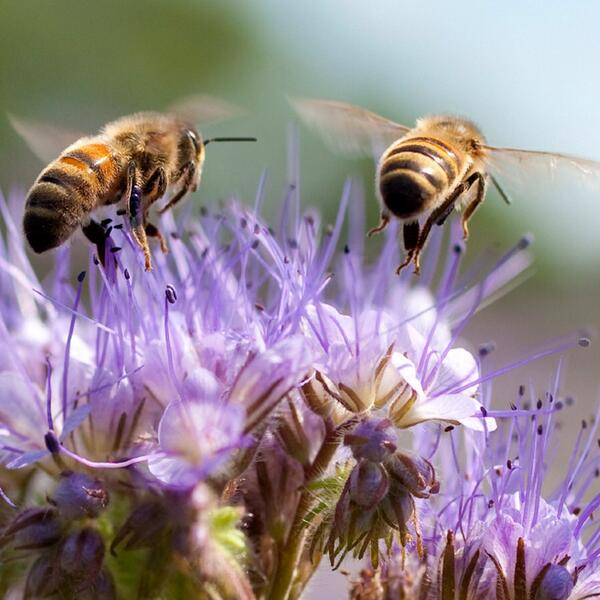 Did you know you can help our endangered honey bees by planting wildflowers and buying local honey? #savethebees http://t.co/Z69GoOfAC3