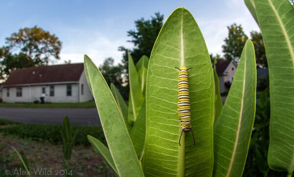 Love this photo. MT @Myrmecos: I planted milkweed in my urban garden for the monarch caterpillars, & look! It worked! http://t.co/krNUnQ4yg9