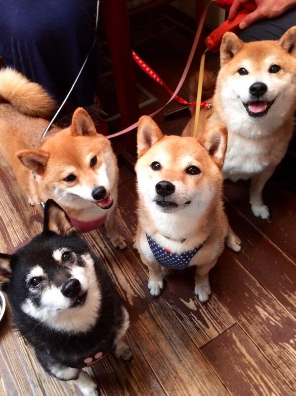 これぞ柴犬祭り!  #柴犬祭り http://t.co/u0IvGDZbY3