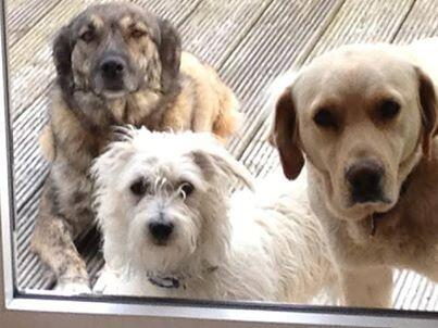 If out in WICKLOW today pls keep eyes peeled for the 2 big dogs in this pic. They are chipped but MISSING 2 weeks http://t.co/sLw1JWqXAZ