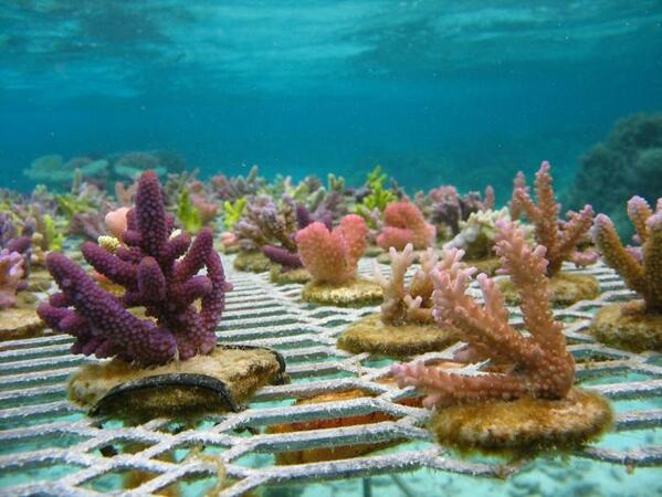 """Coral seedlings"" can be grown and planted to rebuild reefs http://t.co/cDnf4ADleR #OceanOptimism #WorldOceansDay http://t.co/toNFtVZ0Ff"