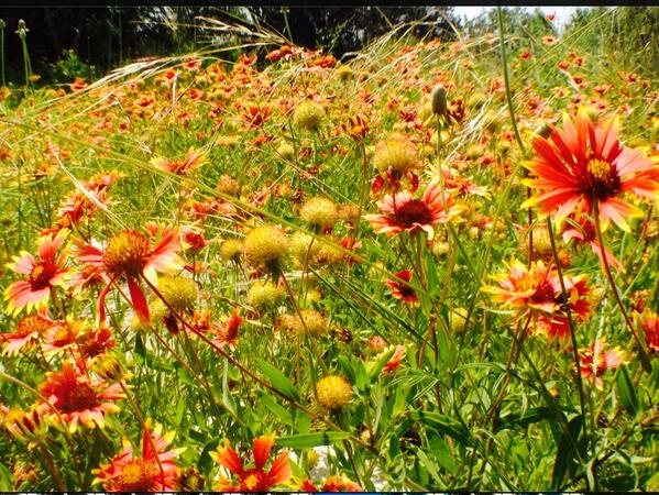 #bees love #wildflowers #gardening http://t.co/TieuA9oM67