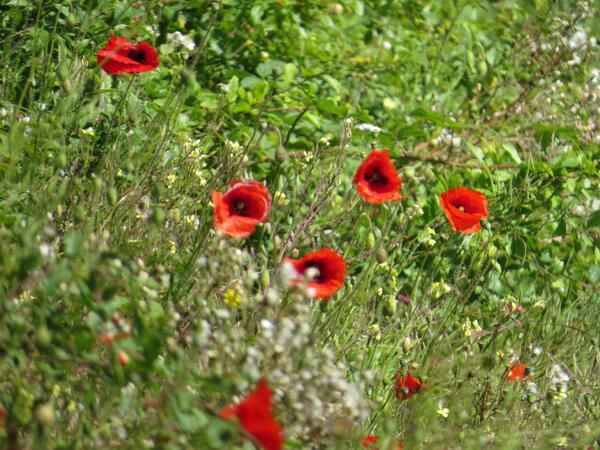 @WildaboutPlants @Love_plants  Saw some lovely verges/banks alongside #Suffolk roads this weekend http://t.co/YYwkHSWUVb