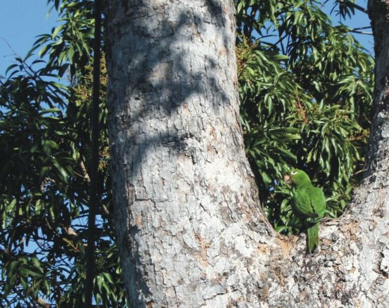 Ibama devolve periquitos para ambiente natural em Goiás