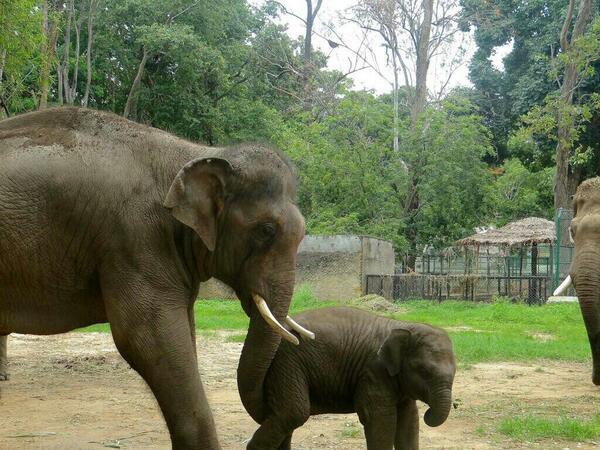 #Sunder likes little Shiva. He had never seen a baby elephant before. #elephants  6/9/14 http://t.co/kSOm2O10JE