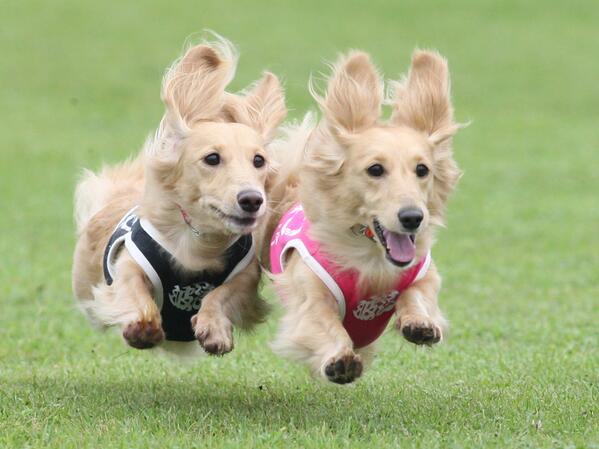 飛行犬 かわいい 動物 犬pic.twitter.com/rSFbiDAf1h
