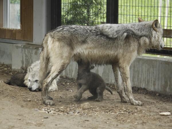 もちろん父親は乳母になることはできません。が、お腹の下に潜り込んだ仔オオカミに間違われて吸われるのは、どこの群れでも父オオカミの宿命のようです(笑) #狼情報 pic.twitter.com/oSpET1yEma