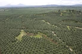 Palm oil Indonesia : http://t.co/FkdwSnKl13  Indonesia's palm oil plantation and processing industry... http://t.co/VyOqQhFQhI